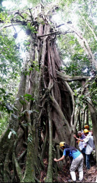 Be amazed by the tree that starts its life at the top of the jungle and grows downwards before eventually strangling its host