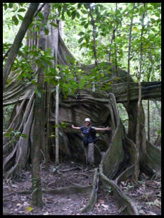 MESCOT Volunteers taking a break to wander the 18km trails for their hidden secrets such as this amazing giant fig tree