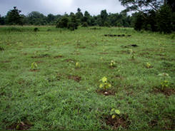 The planting mix of (local names) Binuang, Mangkapon, and Bongkol at 2m spacing at the Kaboi Site mid 2008