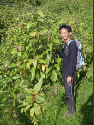 MESCOT Initiative Tree Nursery Head (Norsalleh) examining the experimental Colona seratifolia plantings after 5-6 months