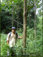 MESCOT Coordinator (Rosli Jukrana) examining the 2001 year plantings of Nauclea spp - photo taken 2007